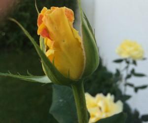 τριαντάφυλλο, μοσχοφίλερο, μοσχάτο